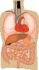 free vector Internal Organs Medical Diagram clip art 125591