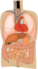 free vector Internal Organs Medical Diagram clip art