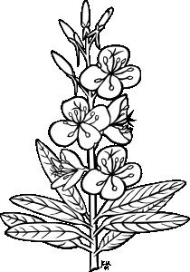 free vector Ku Epilobium Angustifolium Outline clip art