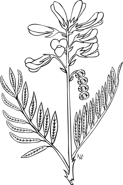 free vector Ku Hedysarum Boreale Outline clip art