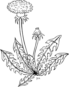 free vector Ku Taraxacum Officinale Outline clip art