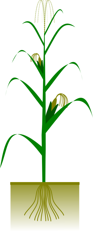 free vector Maize plant