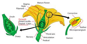 free vector Mature Flower Diagram clip art