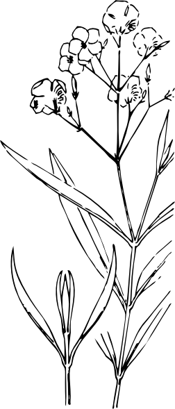 free vector Oleander Outline clip art