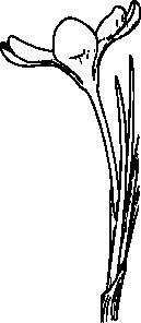 free vector Open Crocus Flower clip art