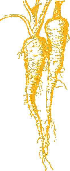 free vector Parsnip clip art