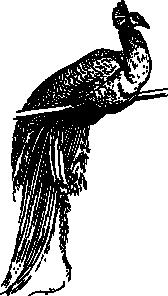 free vector Peacock clip art