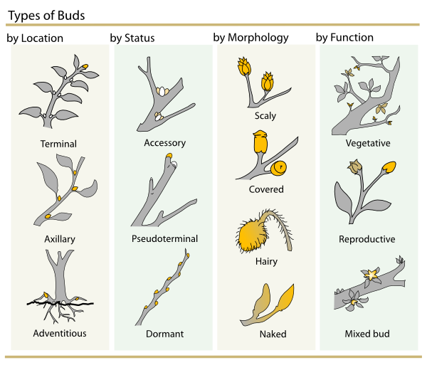 free vector Plant Buds Clasification clip art