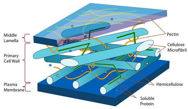 free vector Plant Cell Wall Diagram En clip art