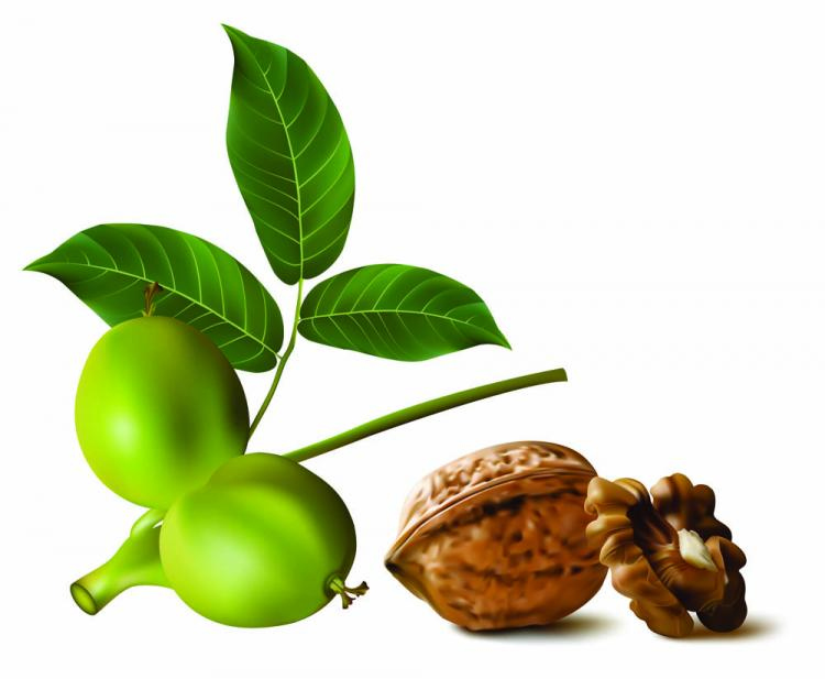 free vector Realistic green walnut walnut 01 vector