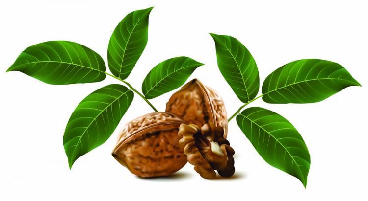 free vector Realistic green walnut walnut 03 vector
