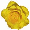 free vector Rose clip art