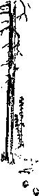 free vector Tall Trees clip art