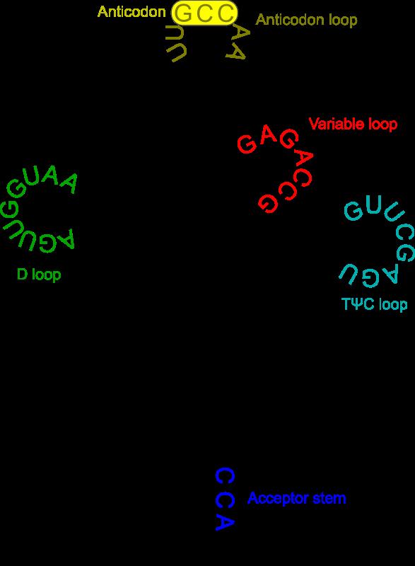 free vector Transfer RNA 2