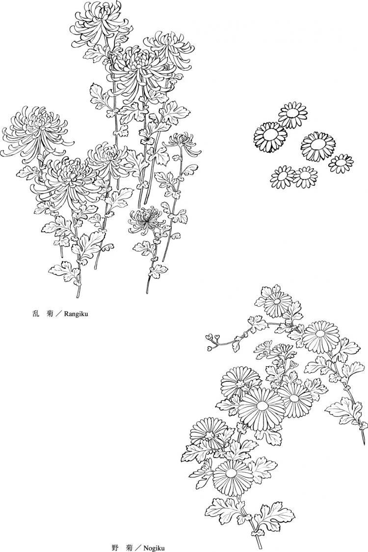 Chrysanthemum Flower Line Drawing : Vector line drawing of flowers wild chrysanthemum free