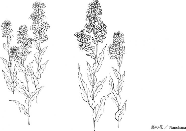 free vector Vector line drawing of flowers-35(Cauliflower, clouds)