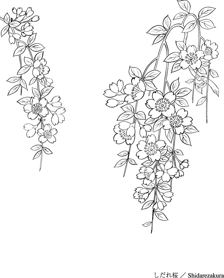 Vector Line Drawing Of Flowers 43 Sakura Free Vector