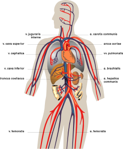 free vector Veins Medical Diagram clip art