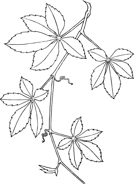 free vector Virginia Creeper clip art