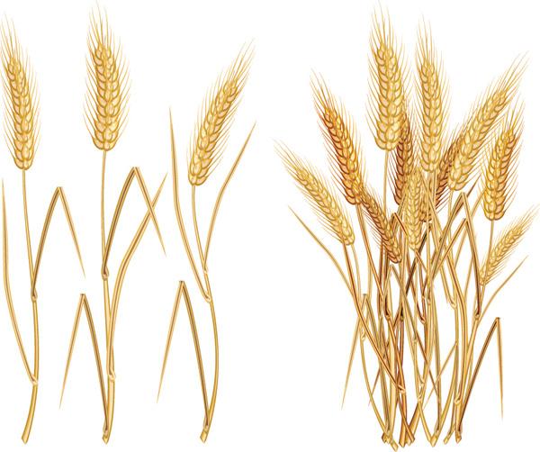 free vector Wheat theme vector