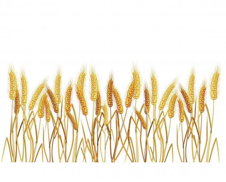 free vector Yellow wheat 02 vector