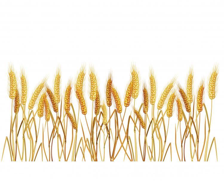 Yellow wheat 02 vector...