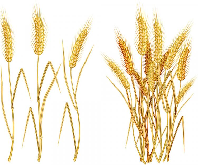 Yellow wheat 03 vector Free Vector / 4Vector