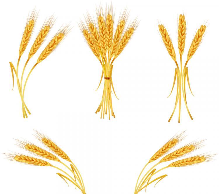 free vector Yellow wheat 04 vector