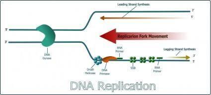 free vector DNA Replication
