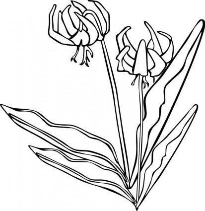 free vector GG Erythronium grandiflorum