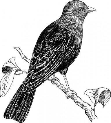 free vector Cowbird