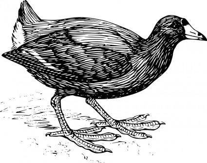 free vector Coot