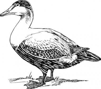 free vector Elder duck