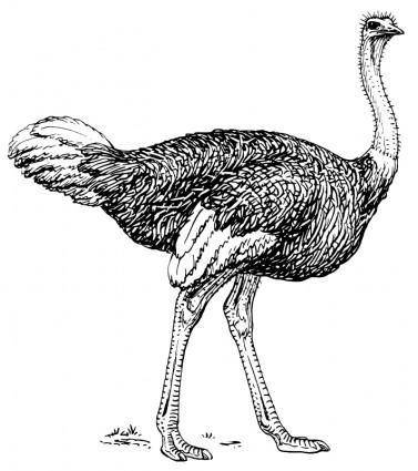 free vector Ostrich