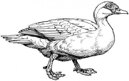 free vector Muscovy duck