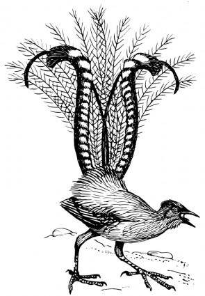 free vector Lyre bird