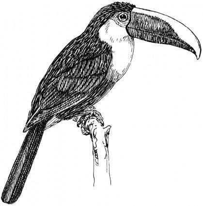 free vector Toucan