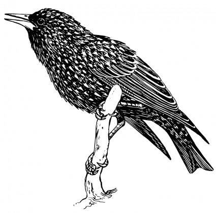 free vector Starling