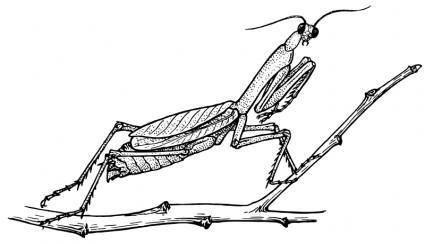 free vector Mantis