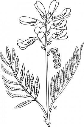 free vector KU Hedysarum boreale