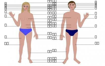 Human body, man and woman, with numbers