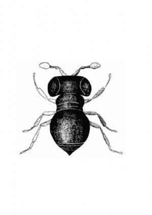 free vector Baeus achaearaneus