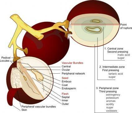 Wine Grape Diagram En clip art
