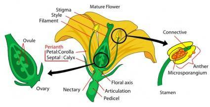 Mature Flower Diagram clip art