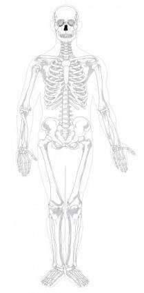 Human Skeleton Front No Text No Color clip art