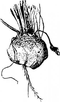free vector Turnip Beet clip art