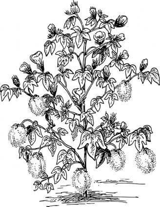 Cotton Plant clip art