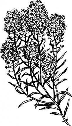 Alyssum clip art