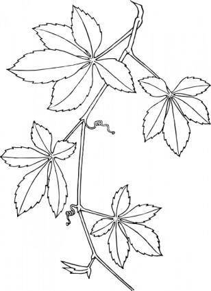 Virginia Creeper clip art