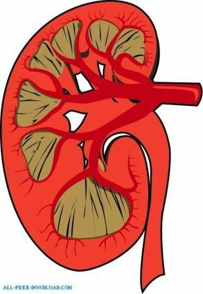 free vector Human Kidney disected